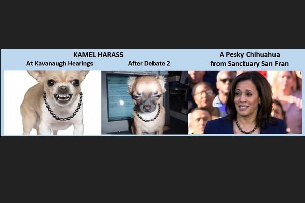 A Pesky Chihuahua: Kamel Harass